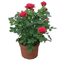 400х400_1688-роза-в-горшке